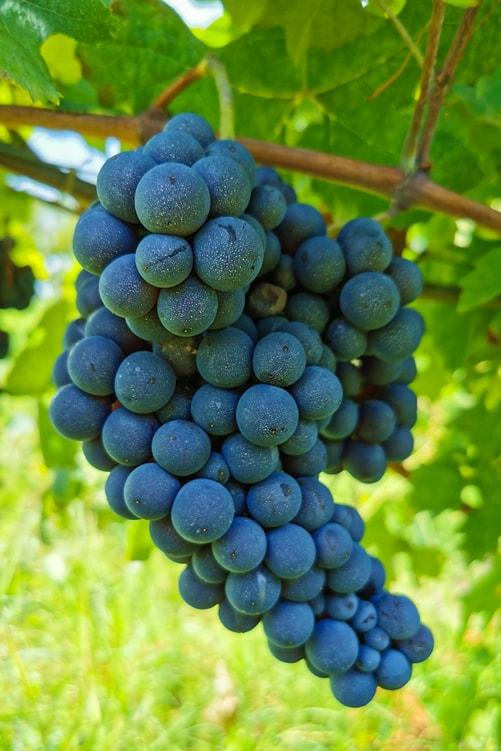 Dolcetto Grape